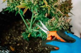 Cannabis Lollipop Trimming