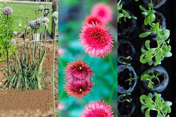 Garlic-Chrysanthemum-Coriander