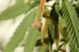 Praying Mantis Protecting Cannabis